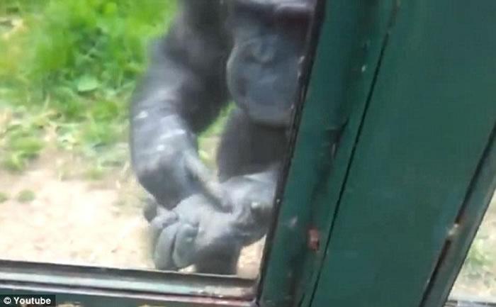 英国威尔士山动物园黑猩猩打手势示意人类帮忙打开窗户让它重获自由