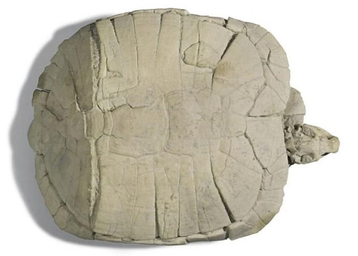美国南达科他州恶地国家公园出土的3300万年历史古近纪龟化石将于英国伦敦拍卖