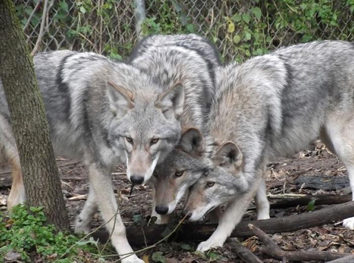 北美混种郊狼。