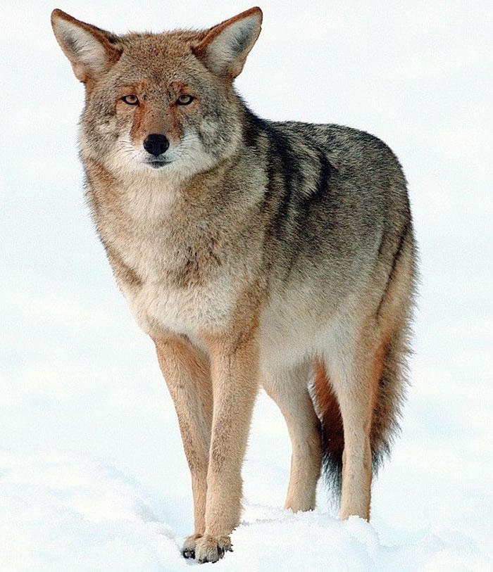 一般郊狼。