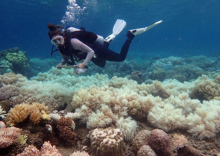 专家警告指大堡礁白化的珊瑚,已到了无法完全复原的境地。