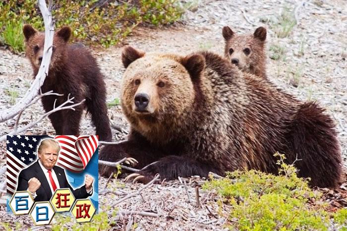 新例颁布后,更多灰熊将被猎人以非人道方式猎杀。