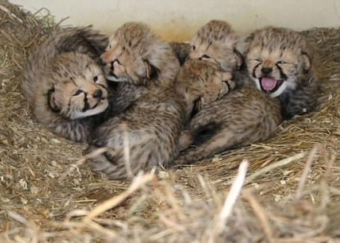 猎豹宝宝依偎在一起。