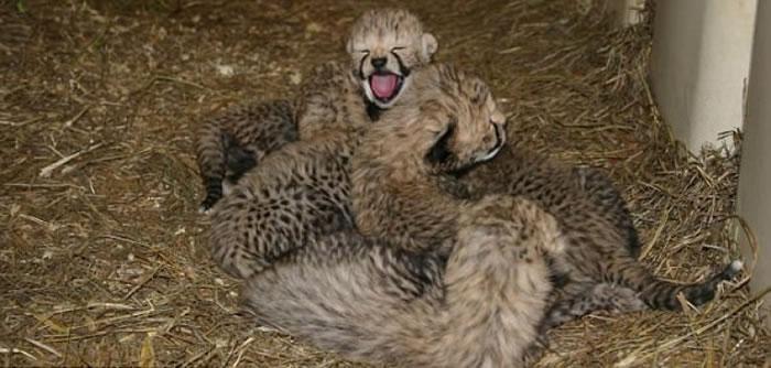 研究人员相信每一只猎豹宝宝出生都代表着猎豹这个品种的希望。
