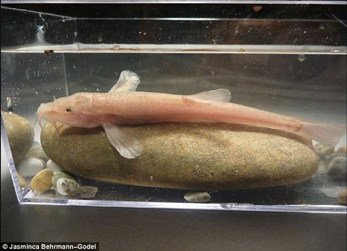 欧洲发现第一种洞穴鱼:德国深水洞穴泥鳅快速进化