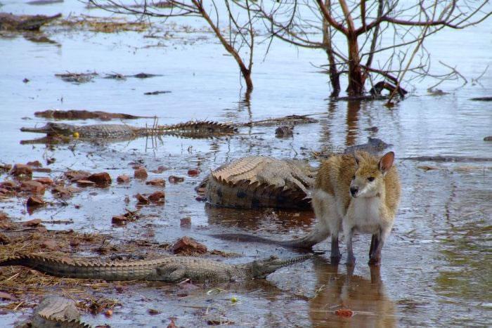 淡水鳄常见于澳洲东金伯利湖畔的Argyle