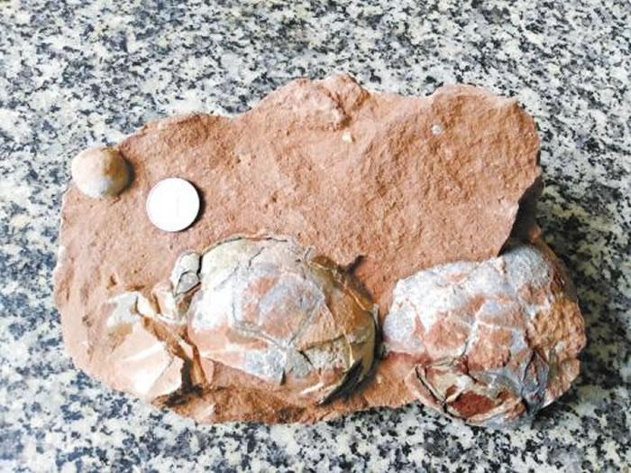 左上的小型蛋化石仅1角硬币大小