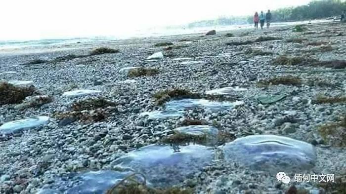 毒性为河豚450倍的海蜇现身缅甸海滩