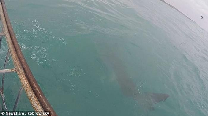 在南非海面追踪鲨鱼的男子遇到大白鲨突袭