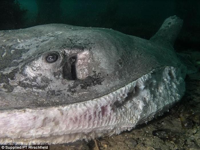 澳洲潜水夫在墨尔本外海发现重达250公斤魟鱼遭人恶意割下鱼鳍而死亡