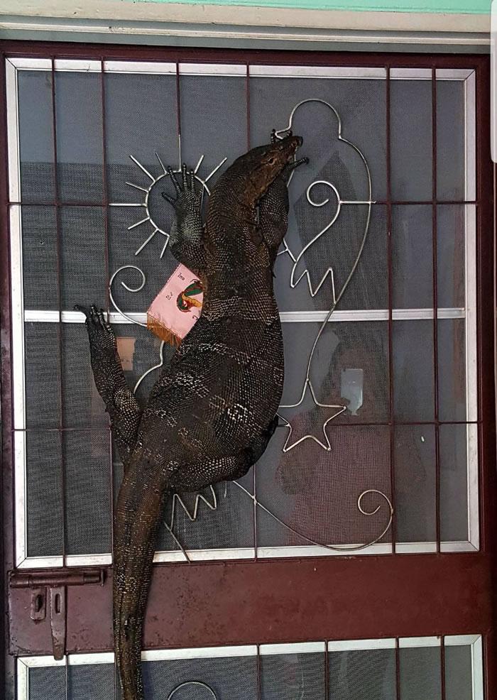 泰国北榄府邦波县2米圆鼻巨蜥闯民居