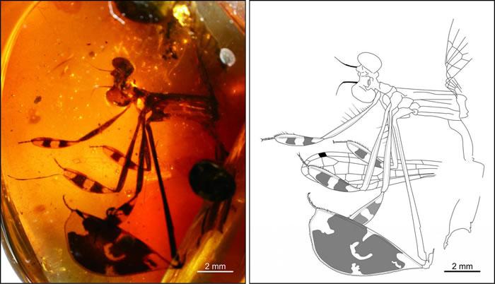 黄氏忆人扇蟌:一亿年琥珀中保留了用性感足部求偶的雄性豆娘化石