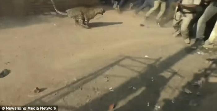 印度奥里萨邦一只猎豹凌晨闯入村庄 男子从屋顶跳下保命