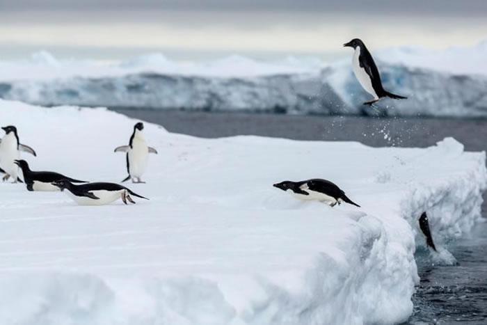 南极洲的阿德利企鹅上岸。在冬季,阿德利企鹅为了找寻磷虾和鱼类,会迁徙到海冰的边缘。 / PHOTOGRAPH BY CRISTINA MITTERMEIER,