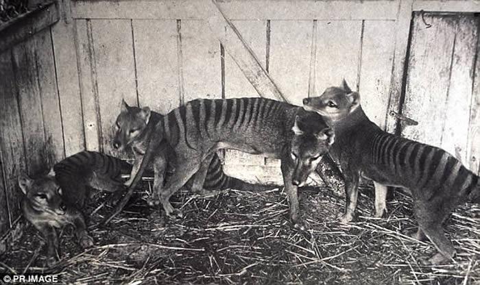 """澳洲内陆袋狼的世纪之谜:发现""""塔斯马尼亚虎""""毛发?"""