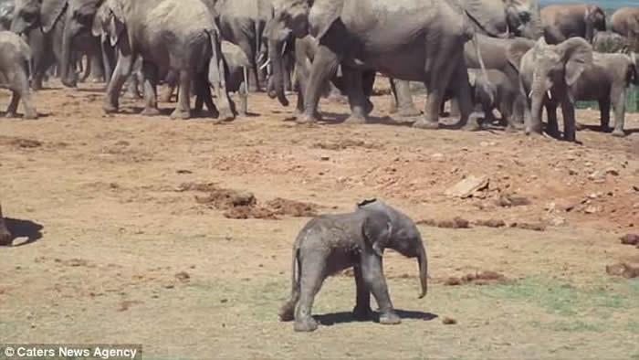 南非阿多大象国家公园雄性大象用鼻子卷起幼象抛到空中后再扶起 专家指是求偶正常行为