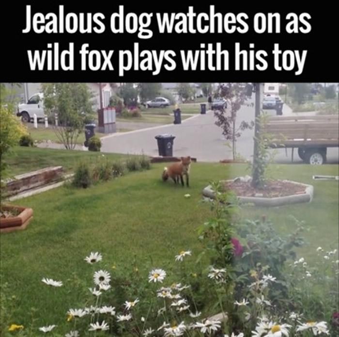 野生狐狸发现玩具兴奋的上前玩