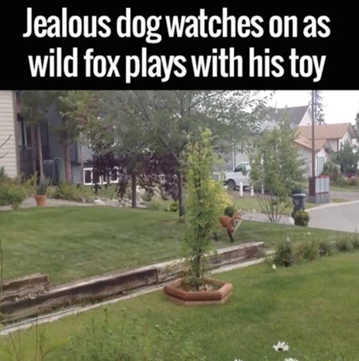 发现狗狗在叫的狐狸看了一下屋内