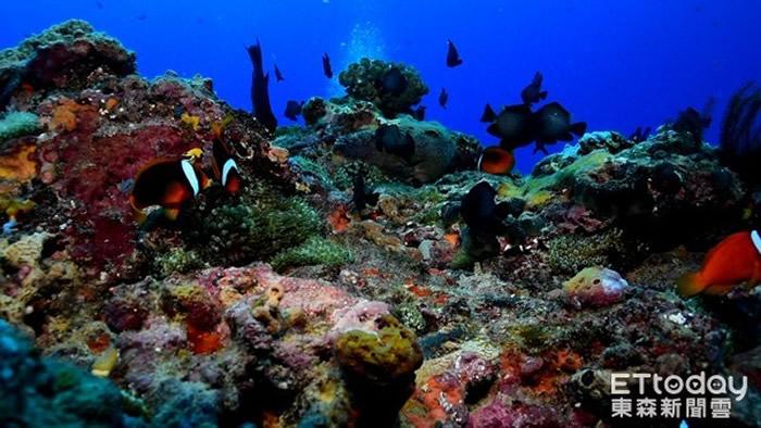 台湾绿岛美丽海底世界:珊瑚卵宝宝依附在珊瑚妈妈身上