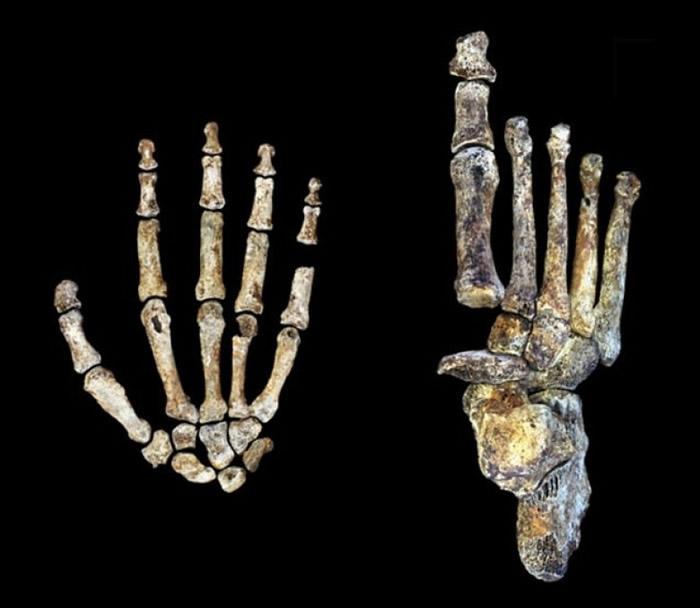 纳莱蒂人身体结构有多处特征与现今人类相似。