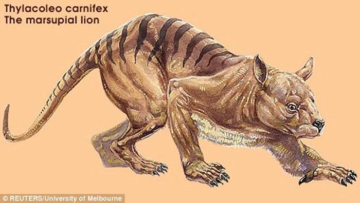 """澳洲有人目睹神秘动物""""袋狮""""?会爬树咬力比""""塔斯马尼亚恶魔""""还要强"""