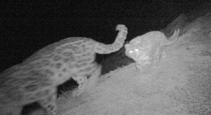 透过红外线相机,发现雪豹的踪迹。