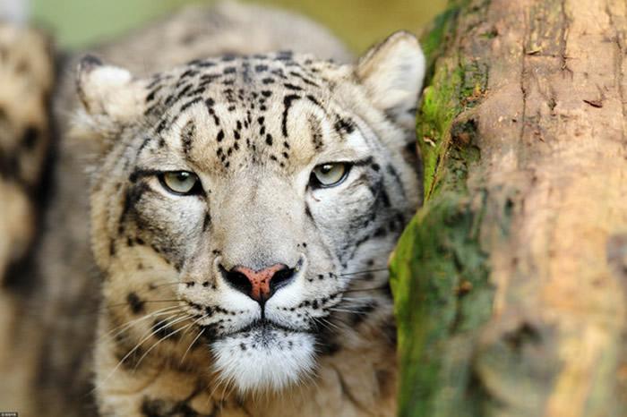 在乌鲁木齐东部和南部山区,已经有超过百只的野生雪豹。