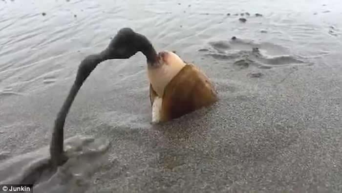 美国俄勒冈州沙滩蛤蜊觅食 边挖洞边排废物出体外