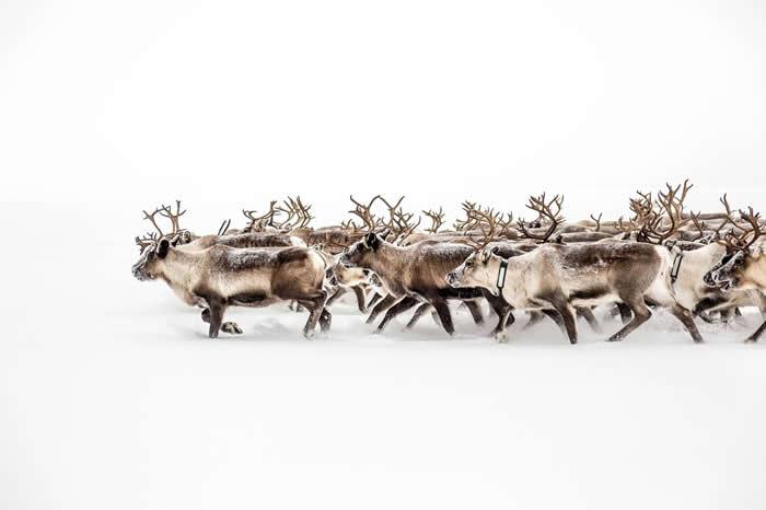 瑞典约克莫克的驯鹿