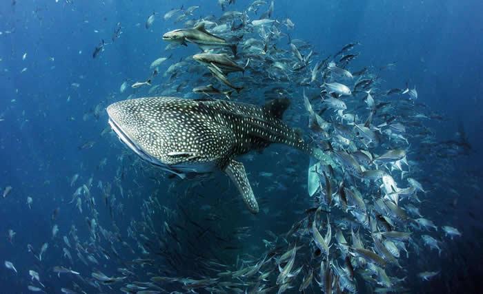 泰国湾里的鲸鲨