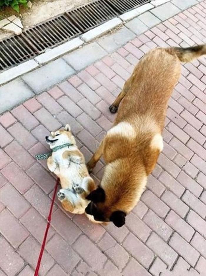 柴犬在路上遇到大黄狗立刻倒地装死躲避危险