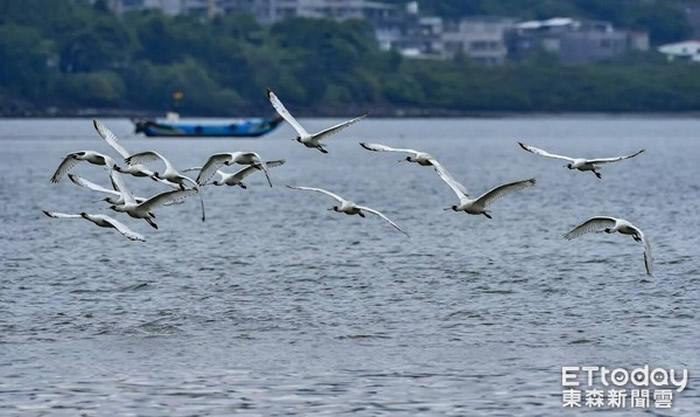 """全球濒危鸟种""""黑面琵鹭""""现身台湾新北市八里海岸"""