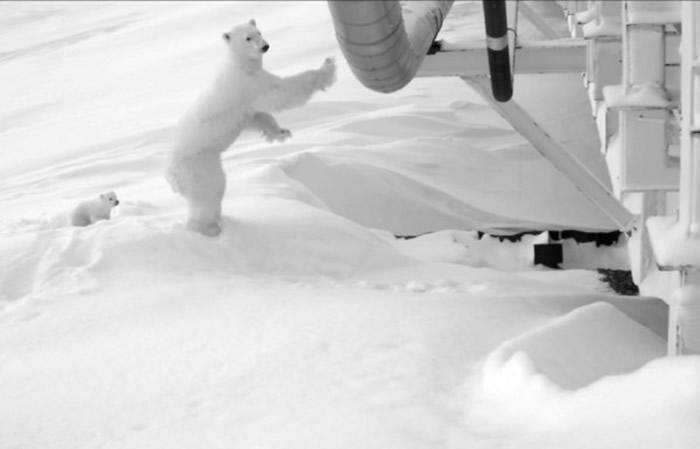 刚出生的北极熊宝宝_北极熊妈妈洞穴待产 美国阿拉斯加州炼油厂封桥红外线24小时 ...