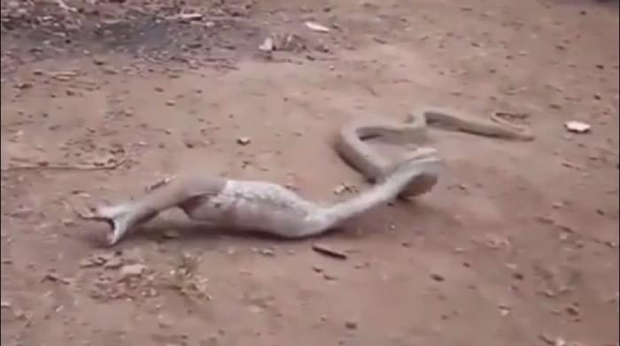 全球首宗蛇吞食塑胶垃圾案例:印度果阿邦眼镜蛇肚胀翻滚吐出宝特瓶