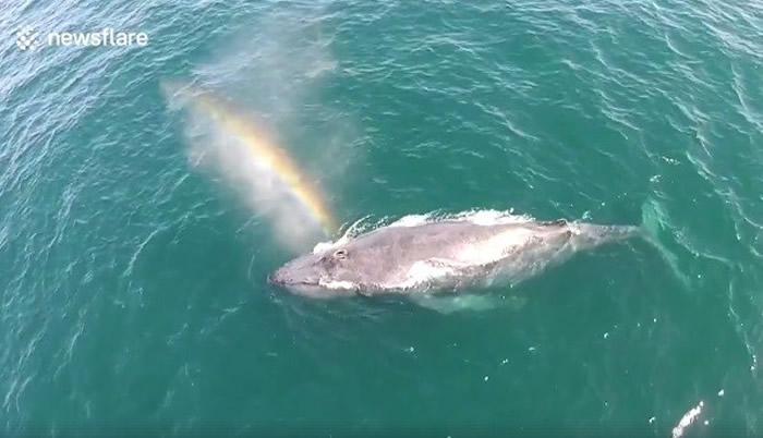 美国纽波特海滩座头鲸出海面换气时头部喷出一道彩虹