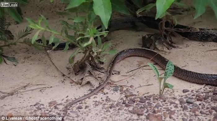 黑蛇口中吐出另一条活生生的蛇
