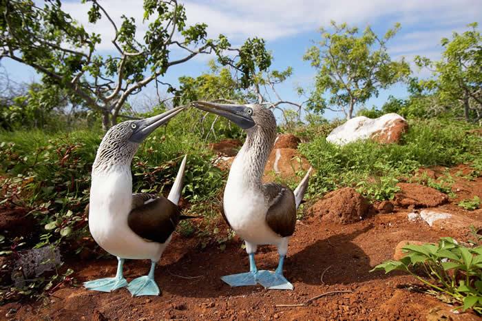 加拉巴哥群島的夏季是藍腳鰹鳥擇偶的季節,八月則是海獅寶寶誕生的月份。PHOTOGRAPH BY PAUL SOUDERS, GETTY IMAGES