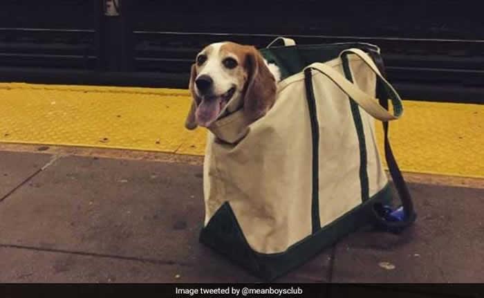 """美国纽约地铁公布""""狗狗只要装袋就能上车"""" 饲主们带着毛小孩搭车的趣味情况层出不穷"""