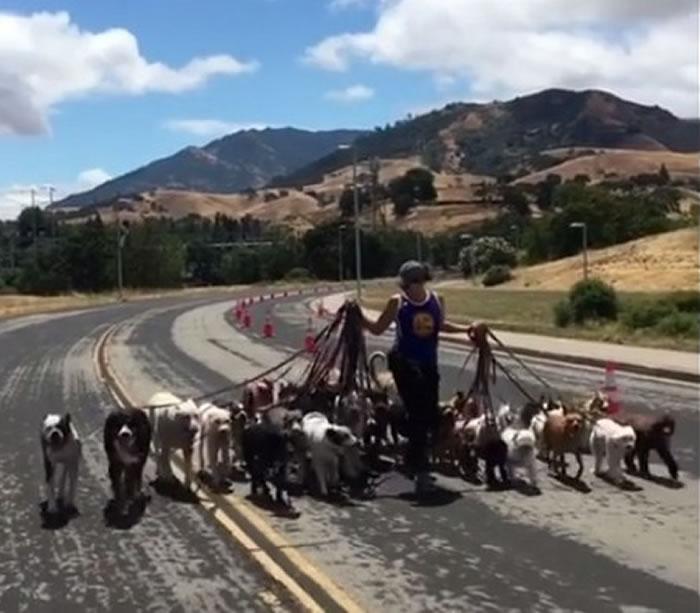 美国加州训犬员双手抓满牵绳遛39只狗