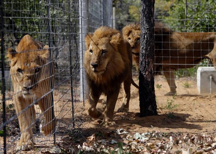 南非有动物保育所被偷猎者成功闯入,并杀害狮子。(资料图片)