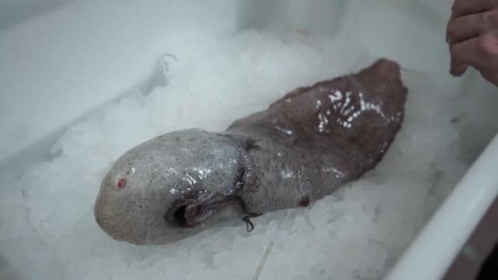 无脸怪鱼没有明显的眼睛或鼻子,嘴巴则长在身躯下方。