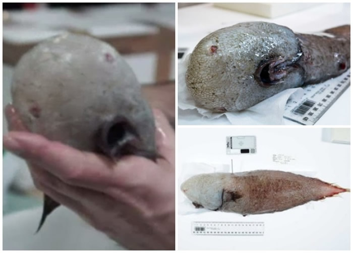 科学家在澳洲东部海域深海下发现这条无脸鱼。