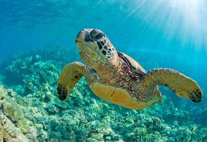 绿蠵龟在世界自然保护联盟濒危物种红色名录中列为濒危物种