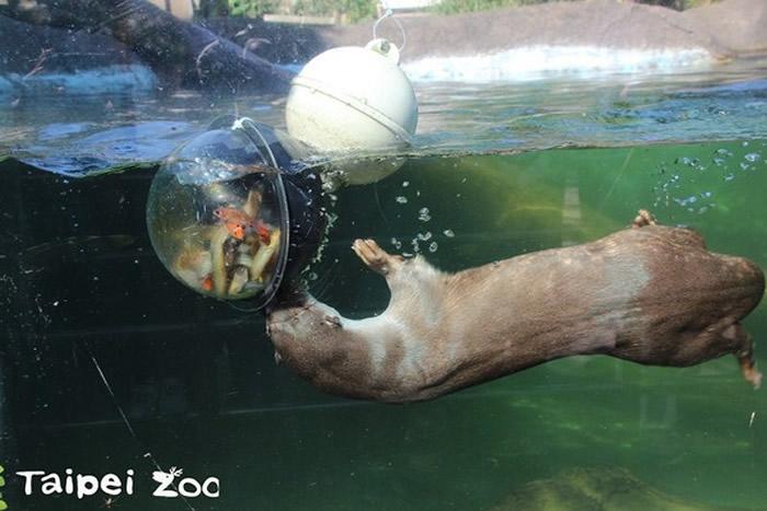 水獭身体优美灵活,四肢较短,具有利爪。(图/台北市立动物园提供)