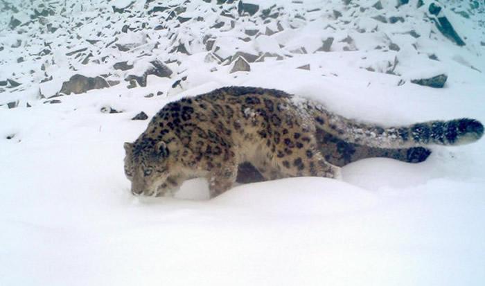 卧龙保护区成为雪豹的热门出没地