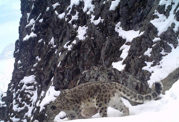 红外线相机捕捉到雪豹的踪迹