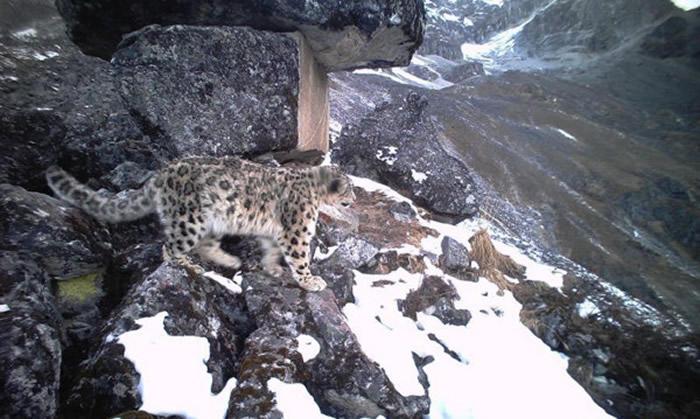 四川卧龙国家级自然保护区7个月内拍摄雪豹达364次