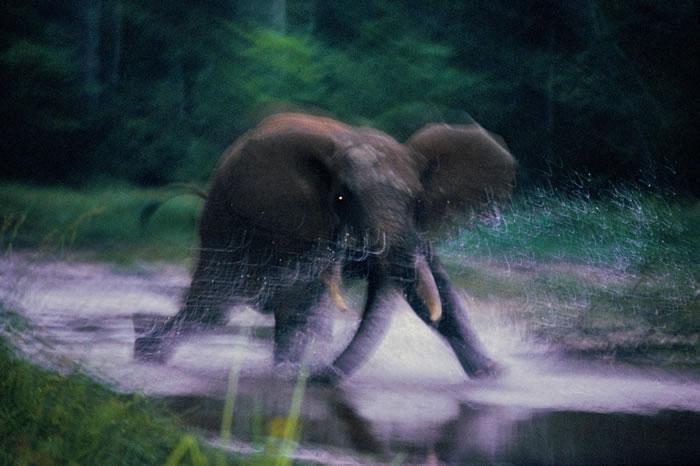 1993年,中非共和国赞加拜(Dzanga Bai)里狂奔的大象。 PHOTOGRAPH BY MICHAEL NICHOLS, NATIONAL GEOGRA