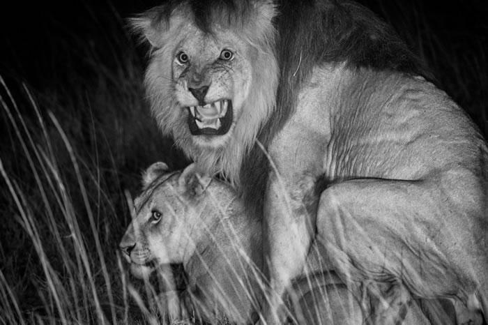 2011年,在坦尚尼亚塞伦盖提国家公园(Serengeti National Park),红外线摄影机拍到一只名为C男孩的狮子与它的配偶。 PHOTOGRAPH