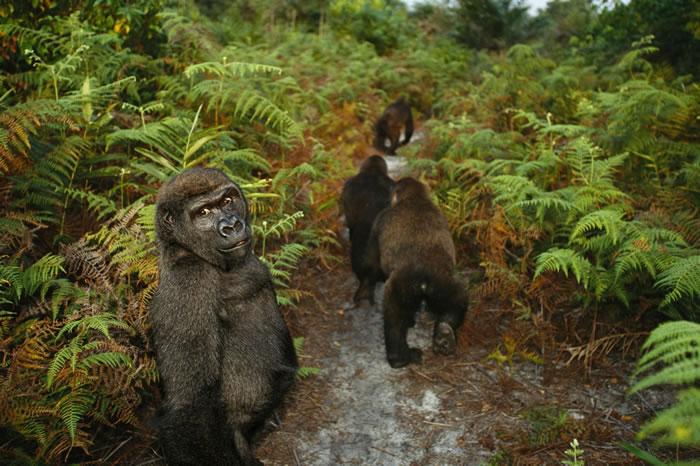 1999年,刚果共和国黑角(Pointe Noire)的庞噶黑猩猩康复中心(Tchimpounga Chimpanzee Rehabilitation Cent